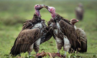 Akbaba kuşlarının bilinmeyen özellikleri