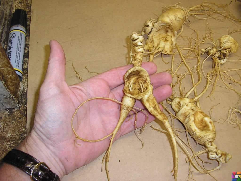Ginseng kökleri tıpkı insana benzer