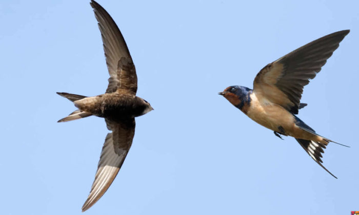 Havada 10 ay kalabilen kuş: Kara sağanlar | Ebabil Kuşu