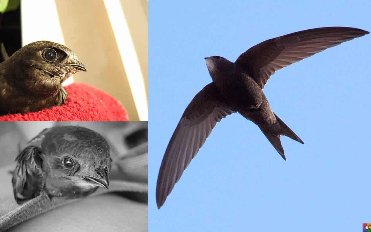 Havada 10 ay kalabilen kuş: Kara Sağanlar'ın fotoğrafları