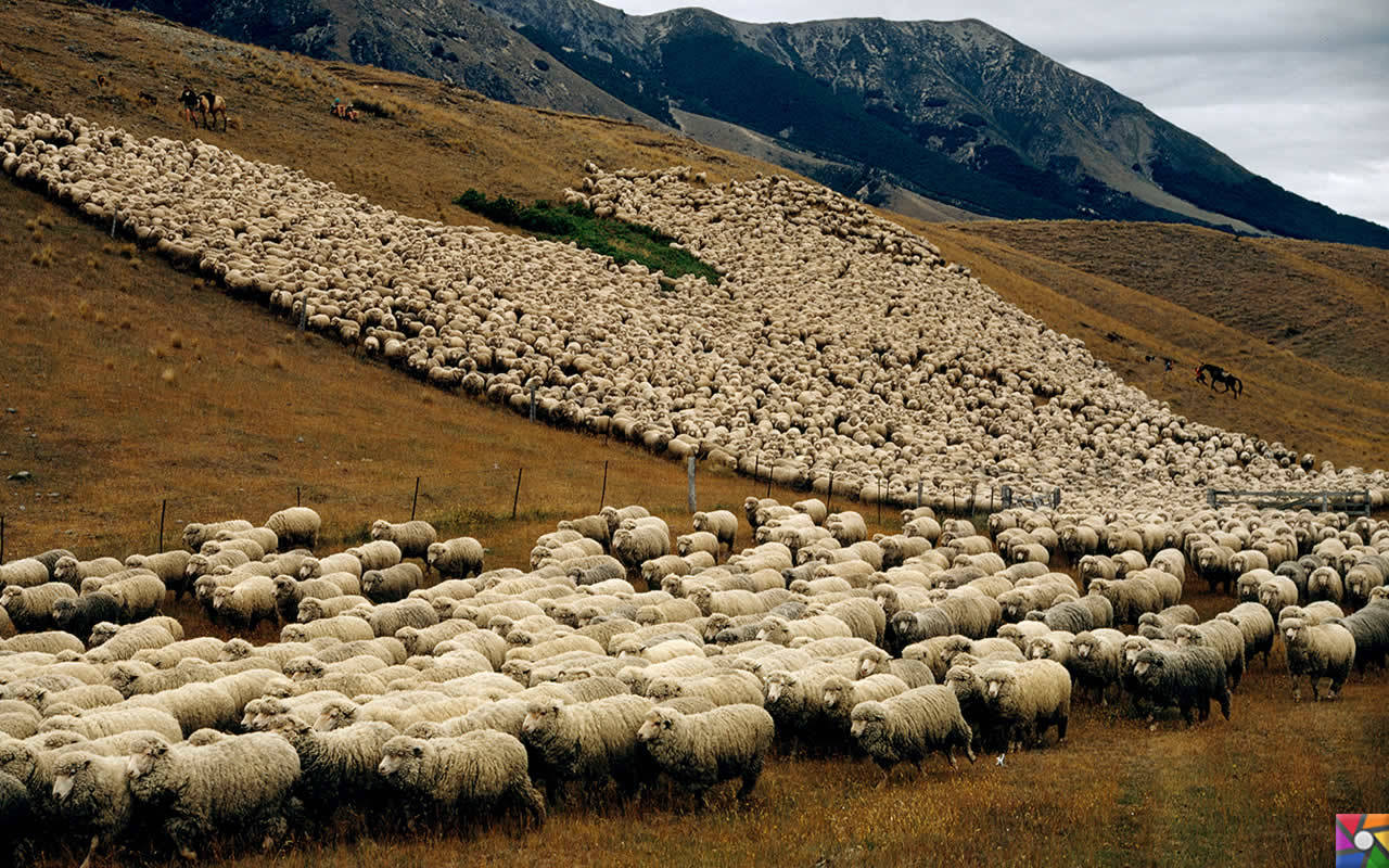 Uzak bir yerlere gidelim Uzun Bulutlar Ülkesine: Yeni Zelenda | Koyun sayısı nüfusun 7 katı
