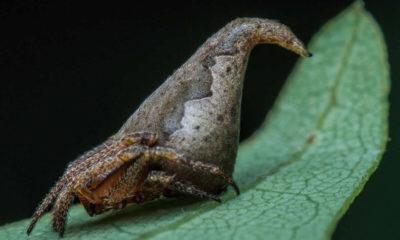 Hindistan'da yeni bir örümcek türü bulundu: Eriovixia Gryffindori