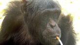 Hiç sigara tiryakisi Şempanze duydunuz mu?