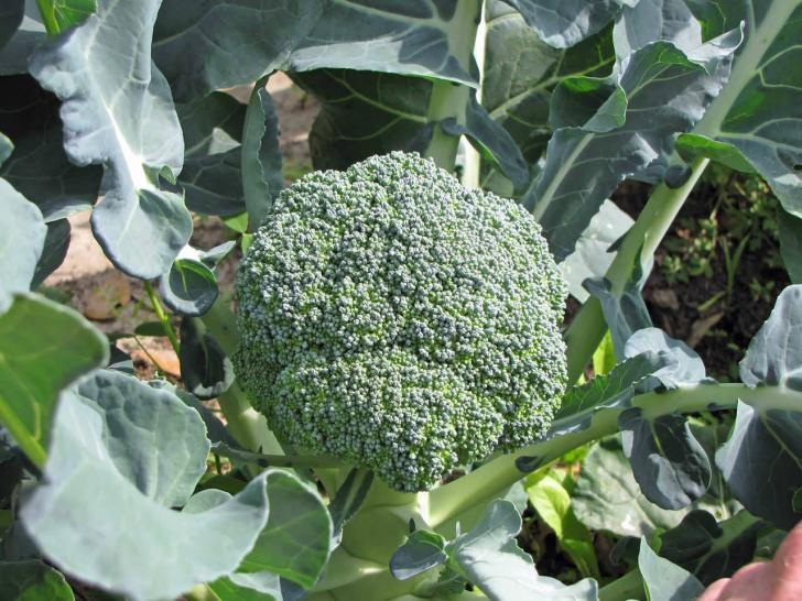 Bahçede olgun brokoli