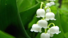 Müge Bitkisinin özellikleri nelerdir? Faydaları ve Zararları