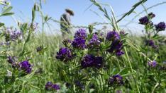 Alfalfa Nedir? Yonca Bitkisinin Yararları, Zararları nelerdir? Nasıl Kullanılır?