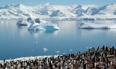 Antartika'da eriyen buzullar Penguenlerin sayılarını azaltmaya başladı!
