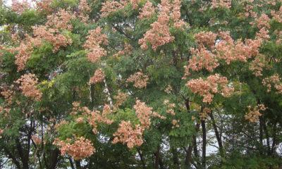 Aylandız Ağacı Kokar ağaç Nedir? Özellikleri, Yararları ve Zararları nelerdir?