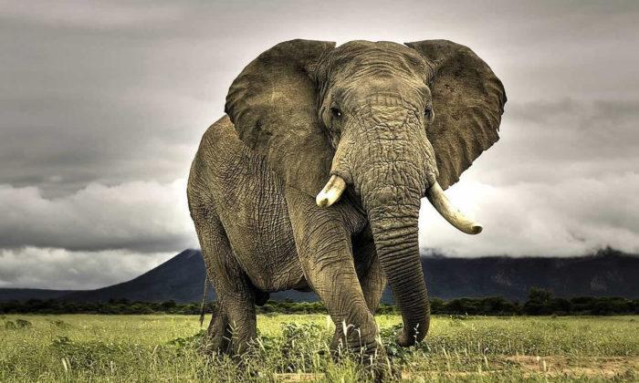 Dünyanın en az uyuyan memeli hayvanı Filler olduğu tespit edildi