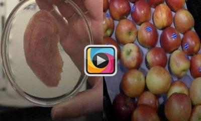 Kanada'da yapay kulak elmalardan yapıldı!