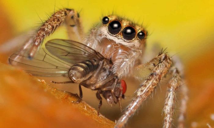 Örümcekler yıllık beslenmeleri için 800 milyon ton böcek yiyorlar!