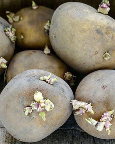 Işgın, Mürver ve Patates yanlış tüketilirse insanları zehirleyip öldürebiliyor!