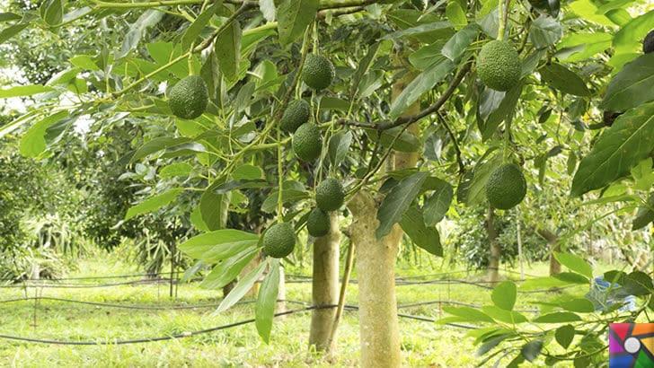 Avokado nedir? Avokadonun Faydaları Nelerdir? Nasıl Kullanılır? | Avokado Ağacı