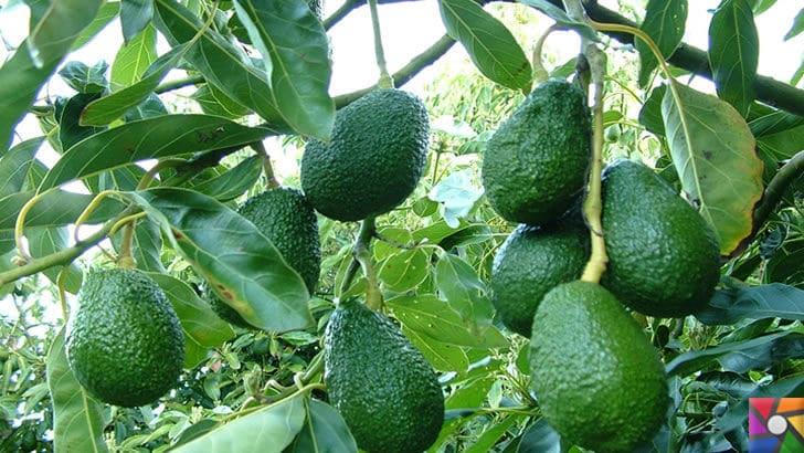 Avokado nedir? Avokadonun Faydaları Nelerdir? Nasıl Kullanılır?