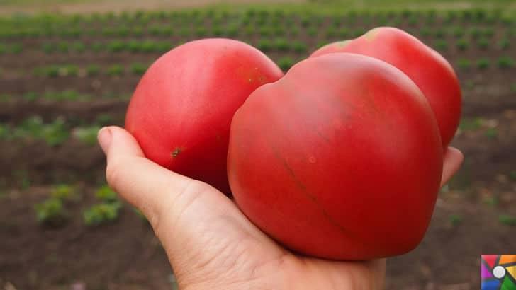 Domates neden pahalı? Domates fiyatları Türkiye'de neden yüksek? | Sera Domates ülke dışına satılınca içerideki talep karşılanmıyor. Tarla domatesini bekliyoruz