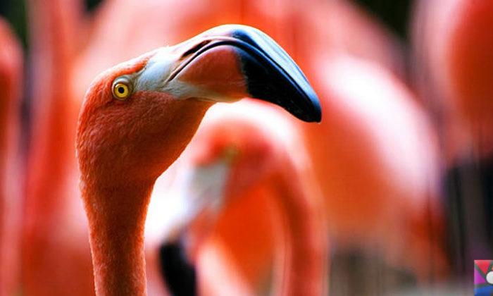 Flamingoların özellikleri nelerdir? Tek ayak üzerinde neden duruyorlar?