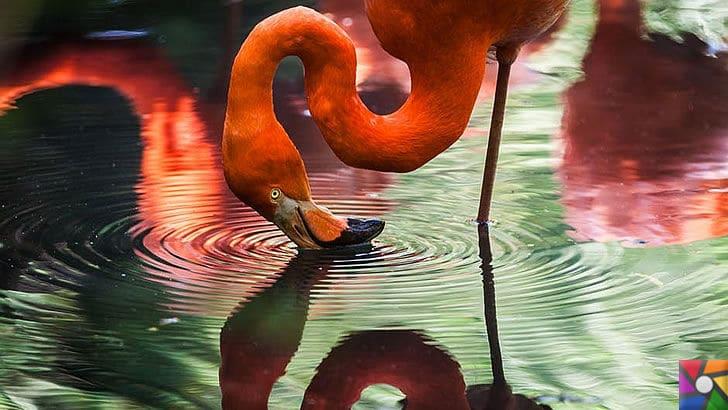 Flamingoların özellikleri nelerdir? Tek ayak üzerinde neden duruyorlar? | Flamingoların boyun ve gagaları eğriktir
