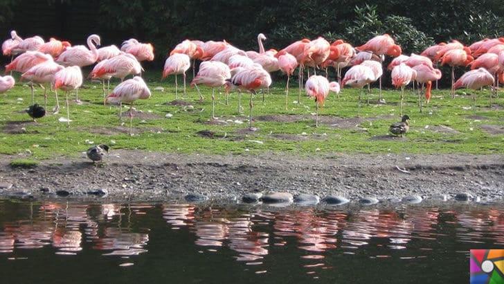 Flamingoların özellikleri nelerdir? Tek ayak üzerinde neden duruyorlar? | Göl kenarındaki Flamingolar