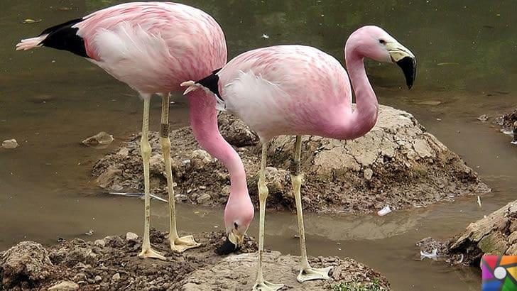 Flamingoların özellikleri nelerdir? Tek ayak üzerinde neden duruyorlar? | Avrupa Flamingoları
