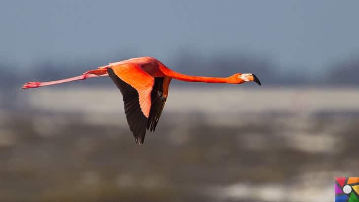 Flamingoların özellikleri nelerdir? Tek ayak üzerinde neden duruyorlar? | Uçan bir Rose Flamingo
