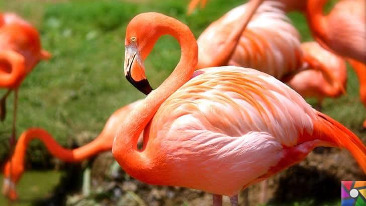 Flamingoların özellikleri nelerdir? Tek ayak üzerinde neden duruyorlar? | Rose Flamingo