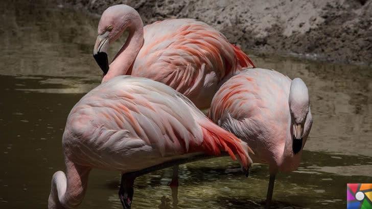 Flamingoların özellikleri nelerdir? Tek ayak üzerinde neden duruyorlar? | Orta Amerika Flamingosu