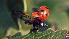 Uğur böceğinin mükemmel kanatları Teknolojiye yön verecek