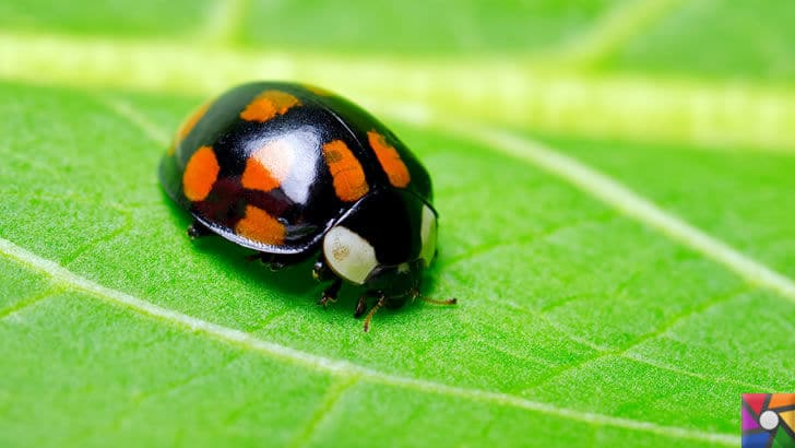 Uğur böceğinin mükemmel kanatları Teknolojiye yön verecek | Uğur Böceği