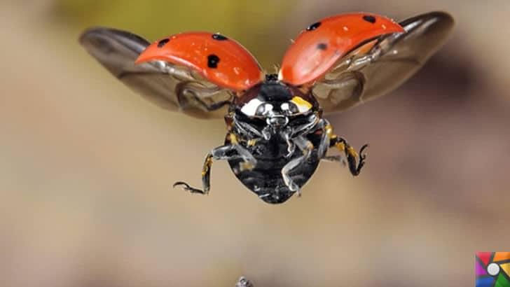 Uğur böceğinin mükemmel kanatları Teknolojiye yön verecek | Uçan Uğur Böceği