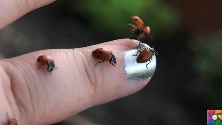 Uğur böceğinin mükemmel kanatları Teknolojiye yön verecek | Uğur Böcekleri insana zarar vermez