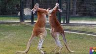 Dünyanın en hızlı dövüş tekniklerine sahip hayvanlar
