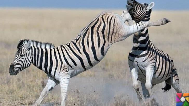 Dünyanın en hızlı dövüş tekniklerine sahip hayvanlar | Zebra çiftesi