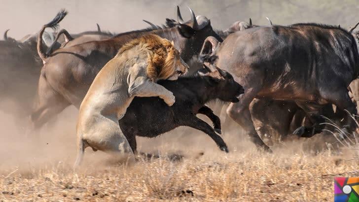 Dünyanın en tehlikeli ve öldürücü hayvanları hangileridir? |Aslanın avı