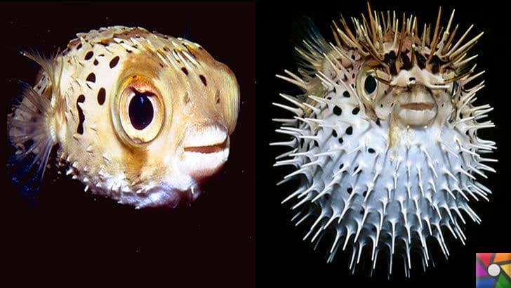 Dünyanın en tehlikeli ve öldürücü hayvanları hangileridir? |Balon Balığı