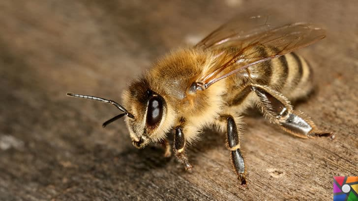 Dünyanın en tehlikeli ve öldürücü hayvanları hangileridir? | Katil Arılar