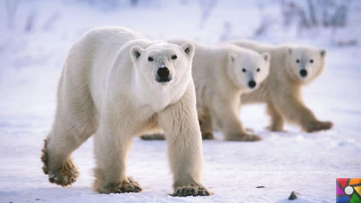 Dünyanın en tehlikeli ve öldürücü hayvanları hangileridir? |Kutup Ayıları