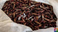 Meksika mutfağındaki lüks karınca ezmesi: Çikatana Sosu | Nasıl yeniyor?
