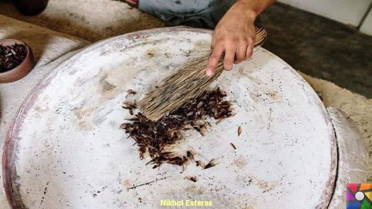 Meksika mutfağındaki lüks karınca ezmesi: Çikatana | Kanatlı Karıncalar palmiye yaprağı ile sacda kavruluyor