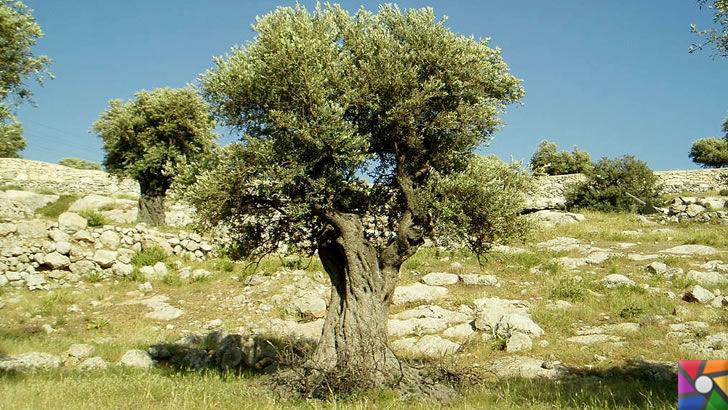 Zeytin mi daha önemli? Yoksa sökülüp Tesis yapılması mı? | Asırlık Zeytin Ağaçları