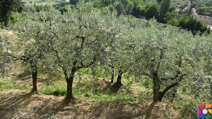Zeytin mi daha önemli? Yoksa sökülüp Tesis yapılması mı? | Zeytin Ağaçları