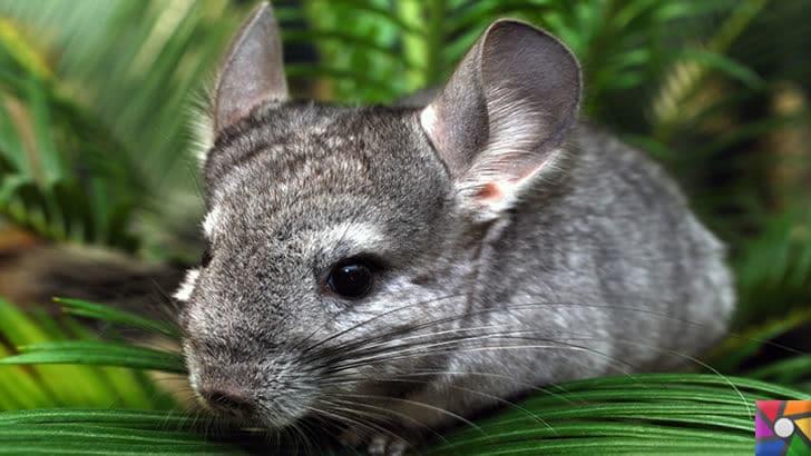 Dünyanın en tüylü hayvanları hangileridir? En tüylü 4 hayvan | Çinçilla fotoğrafı