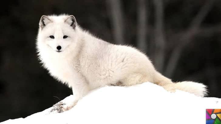 Dünyanın en tüylü hayvanları hangileridir? En tüylü 4 hayvan | Kutup Tilkisi fotoğrafı