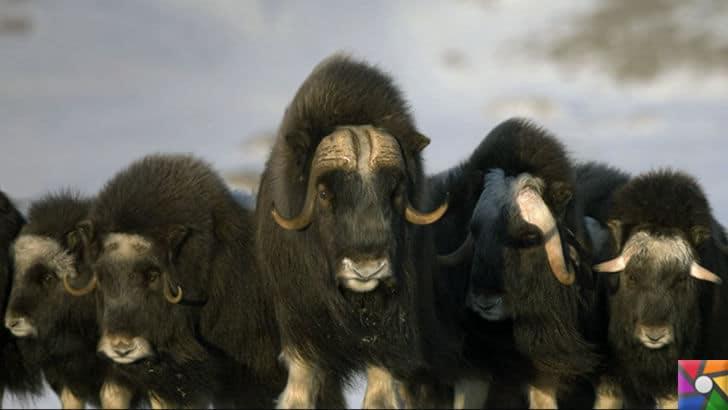 Dünyanın en tüylü hayvanları hangileridir? En tüylü 4 hayvan | Misk sığırı fotoğrafı