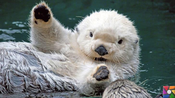Dünyanın en tüylü hayvanları hangileridir? En tüylü 4 hayvan | Su samuru fotoğrafı