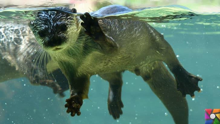 Dünyanın en tüylü hayvanları hangileridir? En tüylü 4 hayvan | Yüzen Su samuru fotoğrafı
