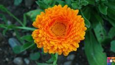 Aynısefa bitkisinin faydaları ve zararları nelerdir? Aynısefa nasıl kullanılır?
