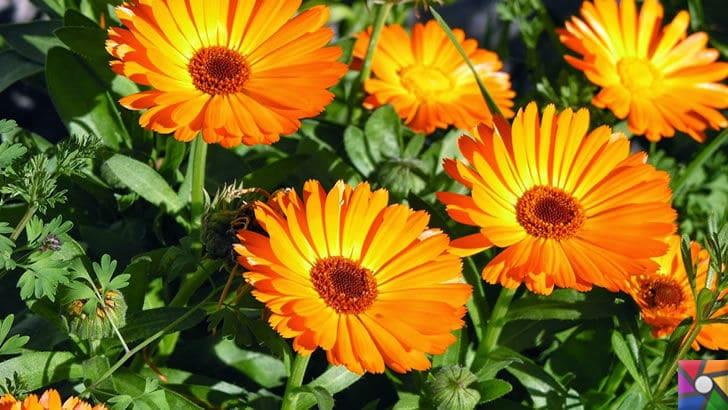 Aynısefa bitkisinin faydaları ve zararları nelerdir? | Aynısefa fotoğrafı