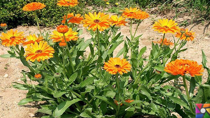 Aynısefa bitkisinin faydaları ve zararları nelerdir? | Aynısefa güneşi sever