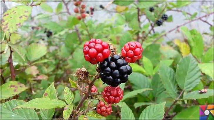 Ahududu Süper besin mi? Ahududunun faydaları ve zararları nelerdir? | Kırmızı ve siyah Ahududu Anti-Kanserojendir