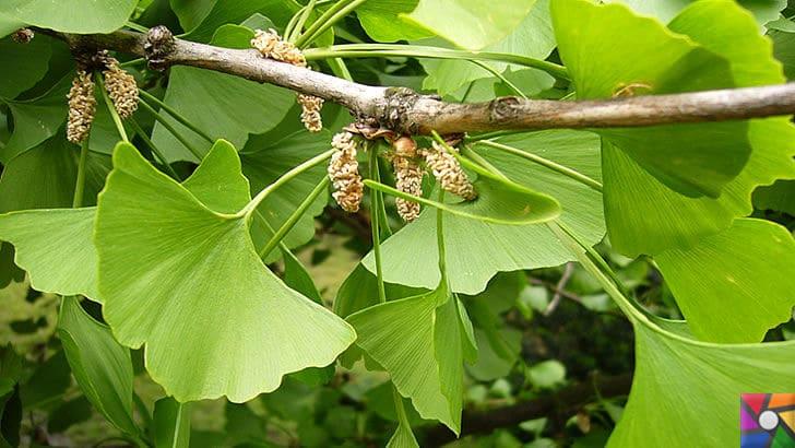 Ginkgo Biloba Nedir? Ginkgo Biloba'nın Faydaları ve Zararları nelerdir? | Ginkgo ağacı çiçekleri
